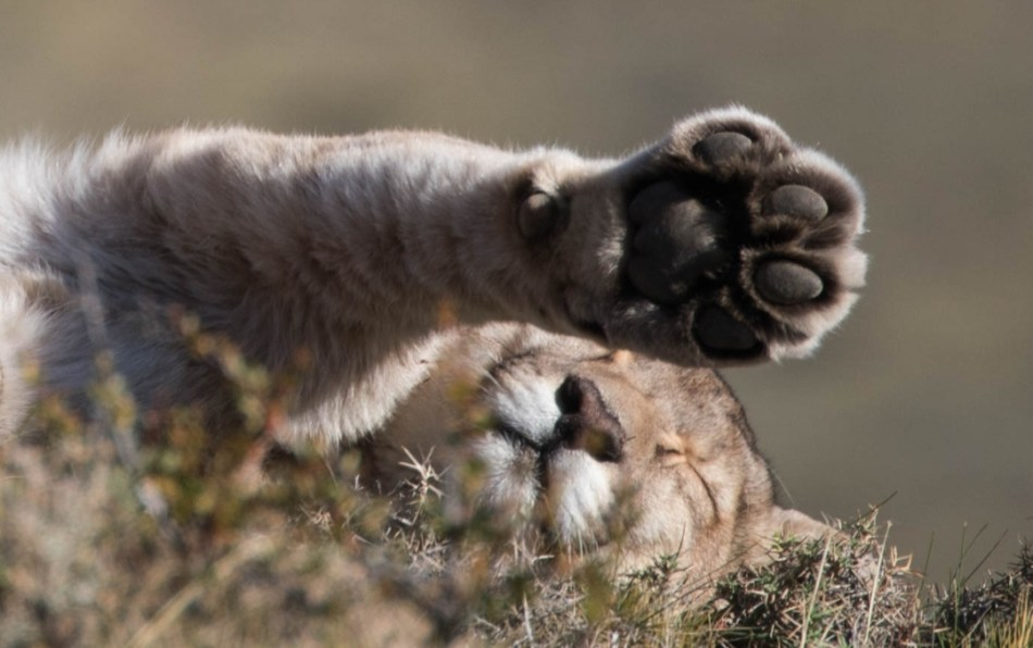 Puma of Patagonia