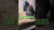 Gorillas vs snake