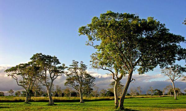 Port Vila treescape, Vanuatu. Photo by Phillip Capper.