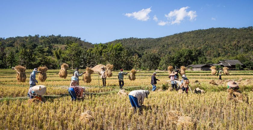 """Rice farmers Mae Wang Chiang Mai Province"" by Takeaway - Own work. Licensed under CC BY-SA 4.0 via Wikimedia Commons - https://commons.wikimedia.org/wiki/File:Rice_farmers_Mae_Wang_Chiang_Mai_Province.jpg#/media/File:Rice_farmers_Mae_Wang_Chiang_Mai_Province.jpg"