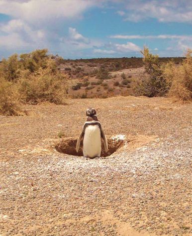 As you can tell by the photo, there are penguins that have adapted to warmer climates. They are called African penguins and you can only find them on the southern coast of the continent. Photo courtesy of member James B.