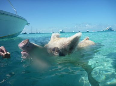 The Bahamas is home to the unique swimming pigs, no joke! The friendly swine live an enviable life, spending hours in the sun before diving into the crystal Caribbean waters. Photo courtesy of member Robert T.