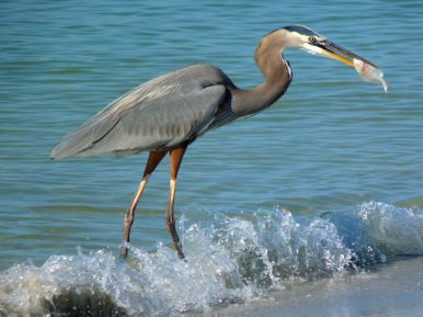 The great blue heron has an S-shaped neck, giving it the ability to snatch fish in the blink of an eye. Photo courtesy of member David J.