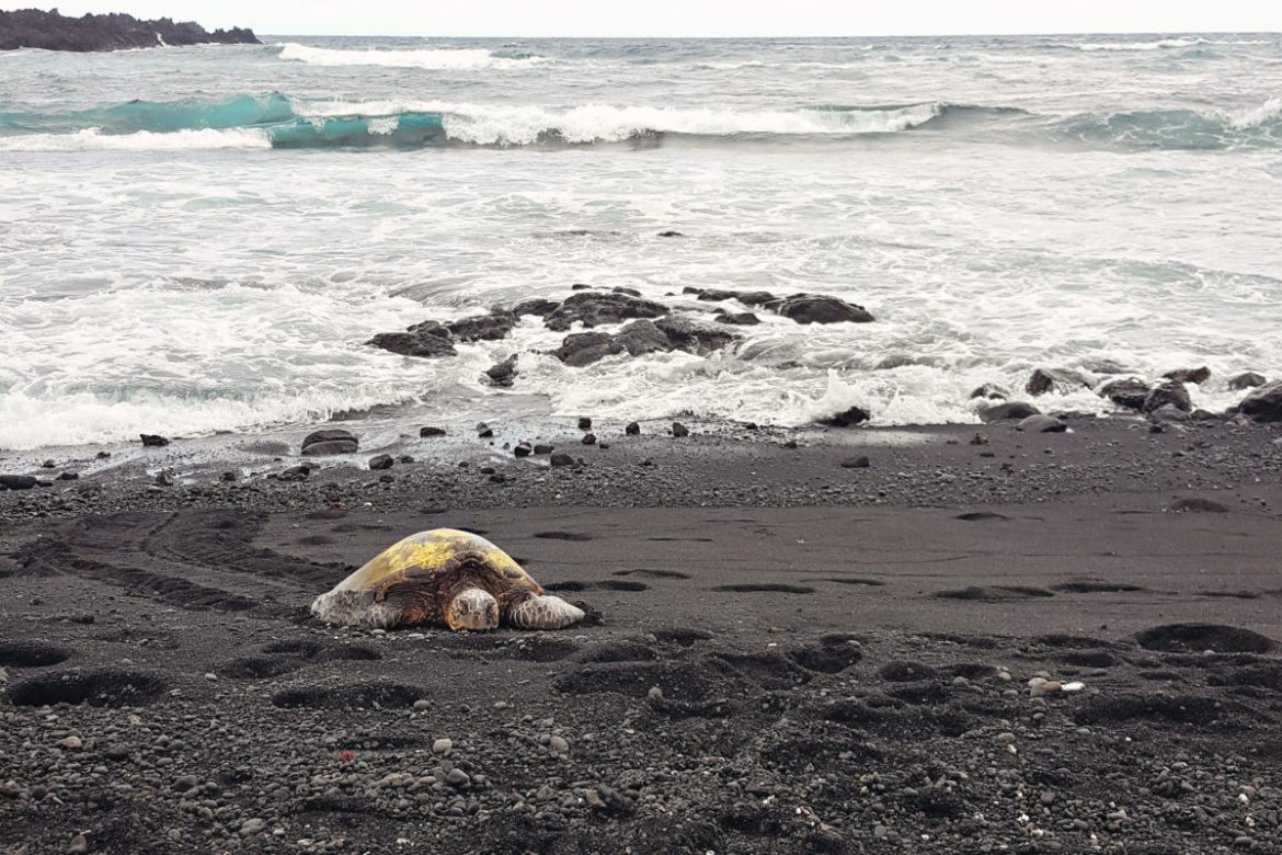 Hawaiian Green Sea Turtle napping on the Punaluu Black Sand Beach a short walk from our wonderful Sea Mountain condo in Hawaii.