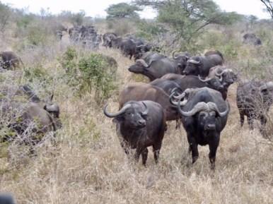 Water buffalo.