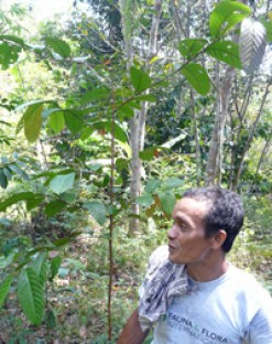 A Bornean ironwood seedling being cared for on a farm in Ketapang.