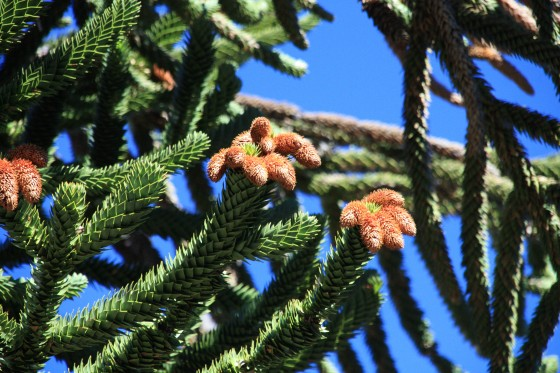 The male cone of the Monkey Puzzle (credit: Dan Luscombe).