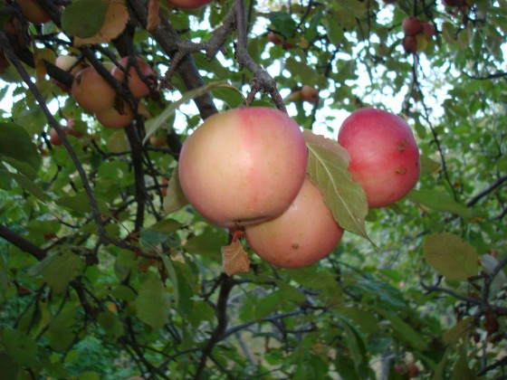 Niedzwetsky's apple fruit. Credit; GTC.
