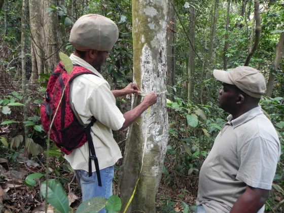 Shaun and Adams (Forestry) measuring tree used by tappers