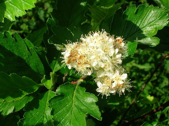 One of the UK's threatened trees Sorbus arranensis (photo taken by Roger Griffith)