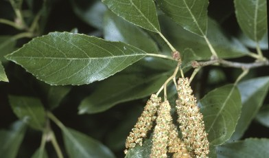 Picture of the leaves and fruiting body of Alnus maritima (public domain)