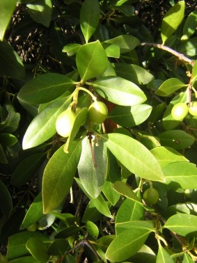 Gomortega keule_leaves_and_fruit