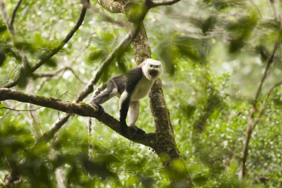 Tung Vai is also home to one of the world's rarest primates, the Tonkin snub-nosed monkey. Credit: Xi Zhinong/WildChina/FFI