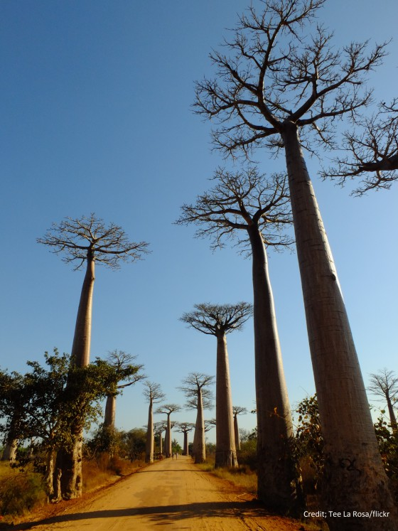 The world famous avenue of the baobabs in Madagascar. Few people are aware the species is threatened with extinction. Credit; Tee La Rosa/flickr.