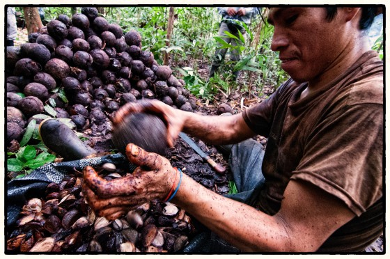 Brazzil nut havester extracting the nuts from a fresh crop in Peru. All Brazil nuts are wild harvested in this way. Credit; CIFOR/flickr.