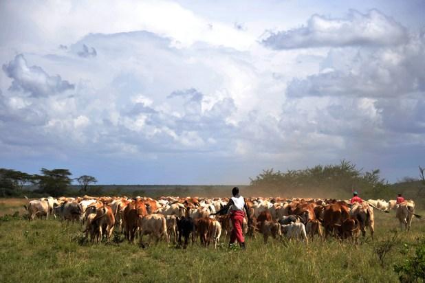 Des éleveurs avec leurs vaches à Laikipia. Photo de l'USAID disponible sous licence Creative Commons.