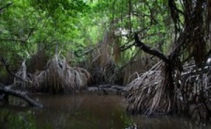 Mangroves will be one of the most vulnerable habitats for species due to climate change velocity