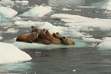 Walrus Again Forced to Flee Melting Arctic Sea Ice
