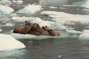 Walrus on melting ice