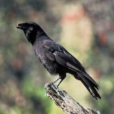 Hawaiian Crow is now extinct in the wild