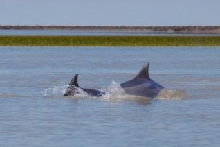 Bottlenose dolphins at Laguna Blanca, Argentina Ramsar site