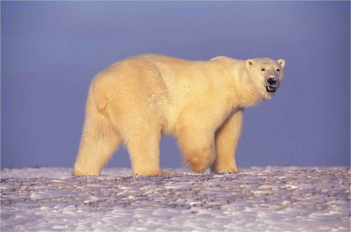 Polar Bears are Suffering from the Ravages of Climate Change