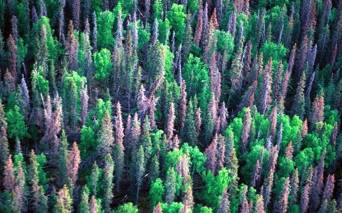 Forest Carbon Release from Pine Beetle Infestation Not as Severe as Expected