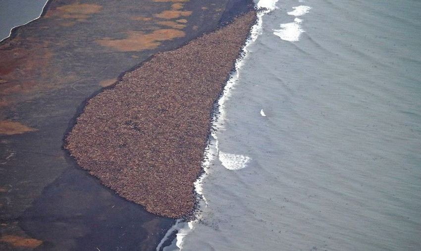Walruses Forced Onshore Due to Shrinking Sea Ice
