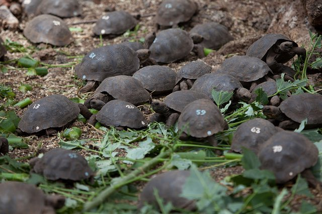 Baby tortoise hatchlings on the island of Pinzón