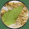 Nettle Root: