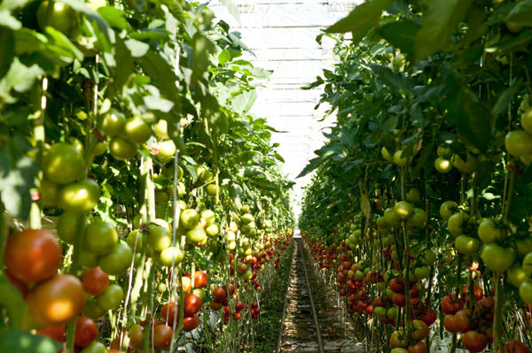 tomatoes-grown-in-a-greenhouse-credits-step-up-social-enterprise