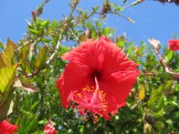 Requisite shot of hibiscus on tropical island