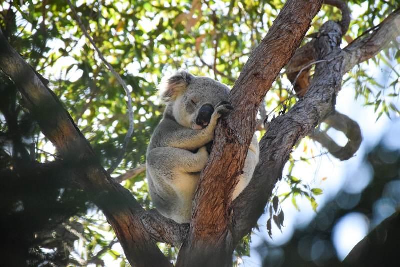 Koala sauvage en Australie à Magnetic Island