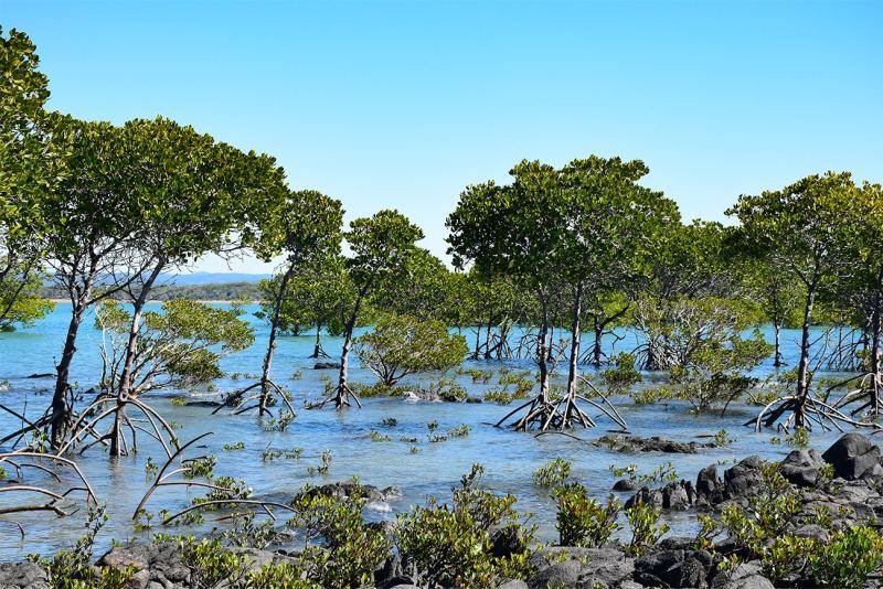 Mangrove sur la côte Est de l'Australie