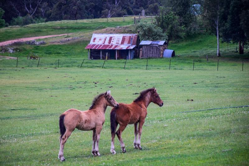 Poulains et chevaux dans un ranch en Australie