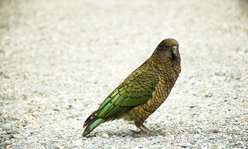 Animaux de nouvelle-Zélande : le kéa
