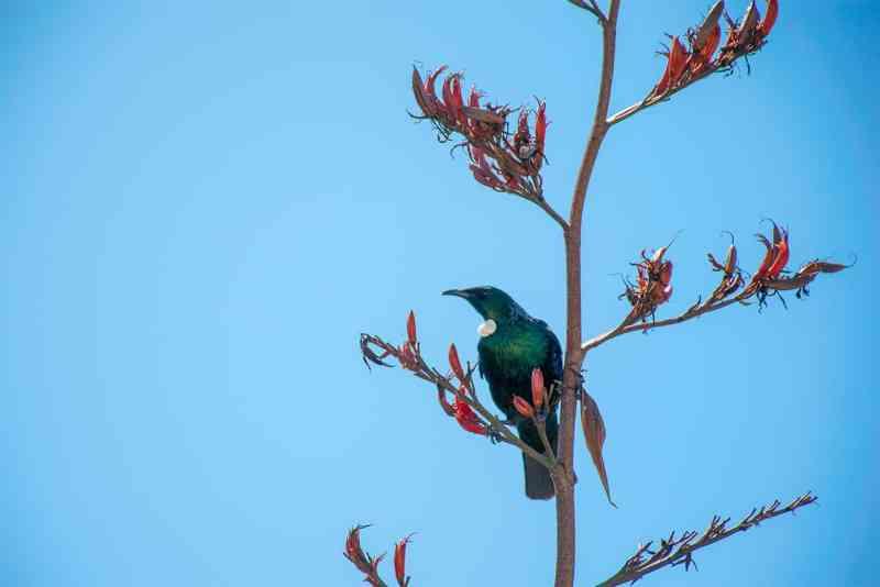 Oiseaux de nouvelle-Zélande : le tui