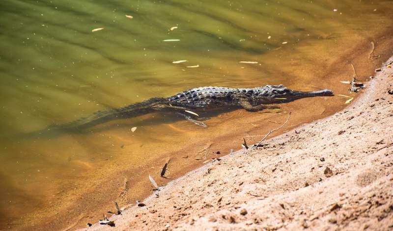 Animaux d'Australie dangereux : le crocodile d'eau douce