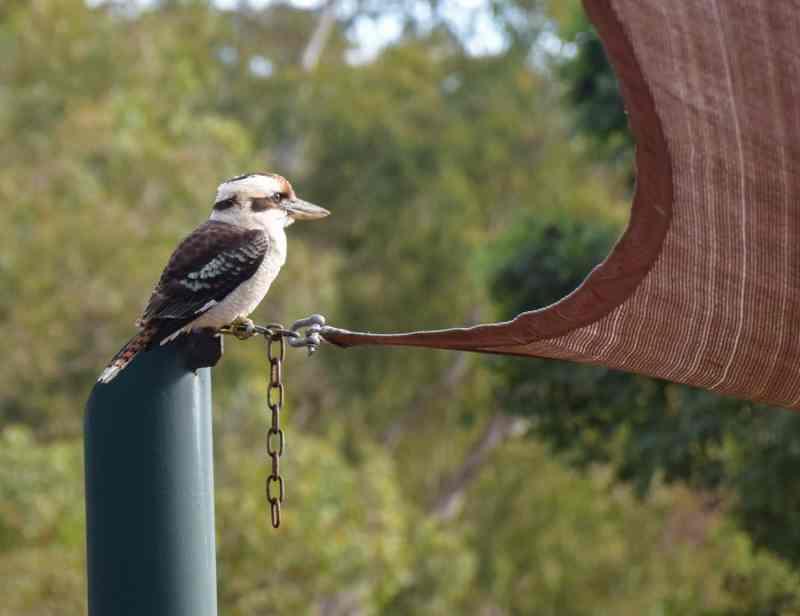 Oiseau d'australie cri de singe kookaburra