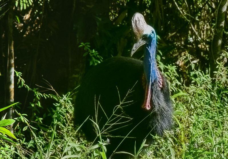 animaux d'Australie : le casoar