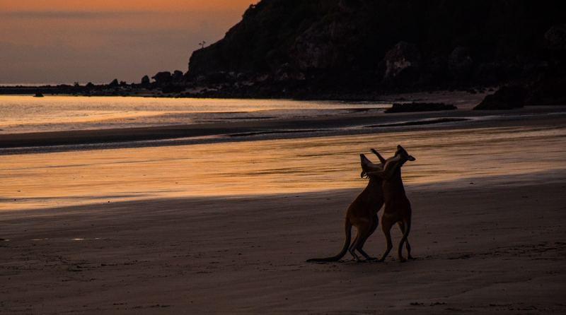 Kangourous sur la plage en Australie
