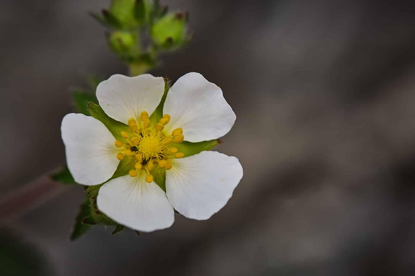 Fleur dans les gorges du Tarn