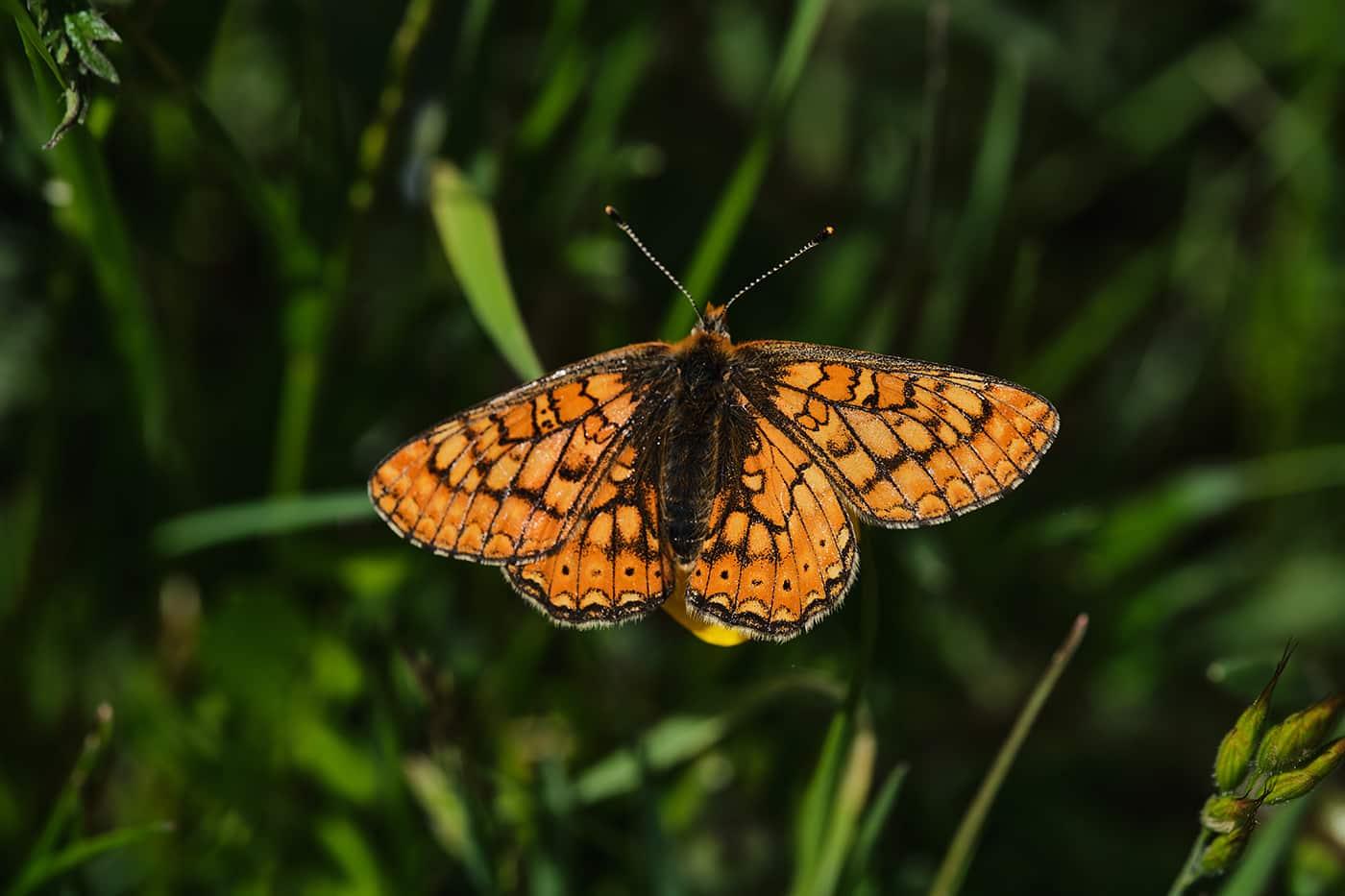 Papillon de lozère