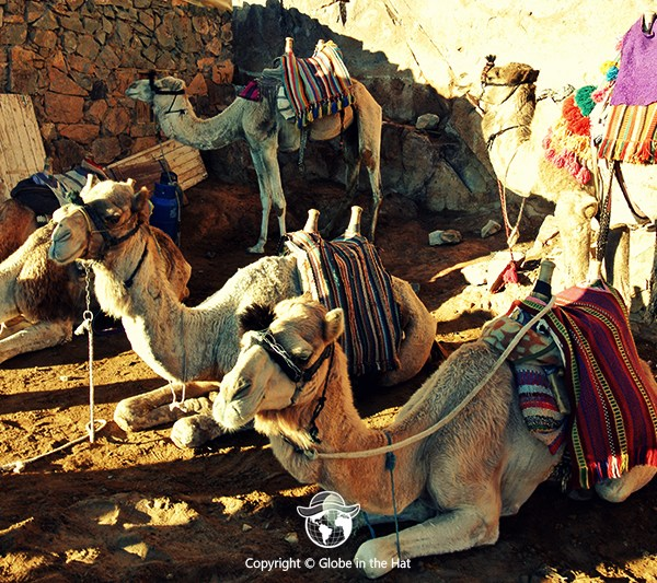 Camels at Mount Sinai in Egypt