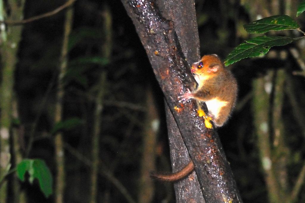 Madagascar - Parc national de Ronamafana de nuit, microcèbe roux