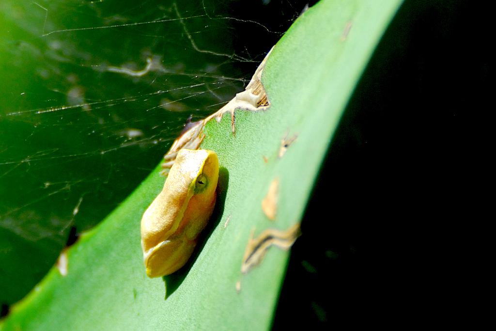 Madagascar - Vallée de Tsaranoro, minuscule grenouille