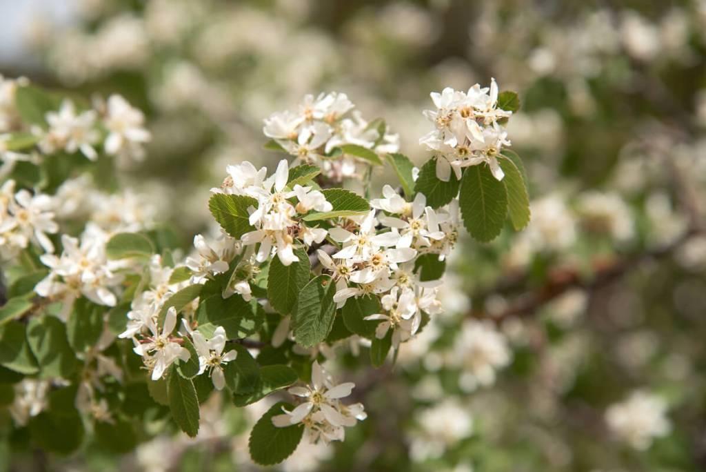 Mesa verde - Amelanchier utahensis