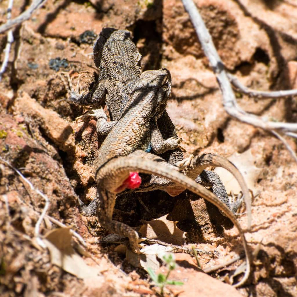 Zion national Park - lézard (sceloporus tristichus)