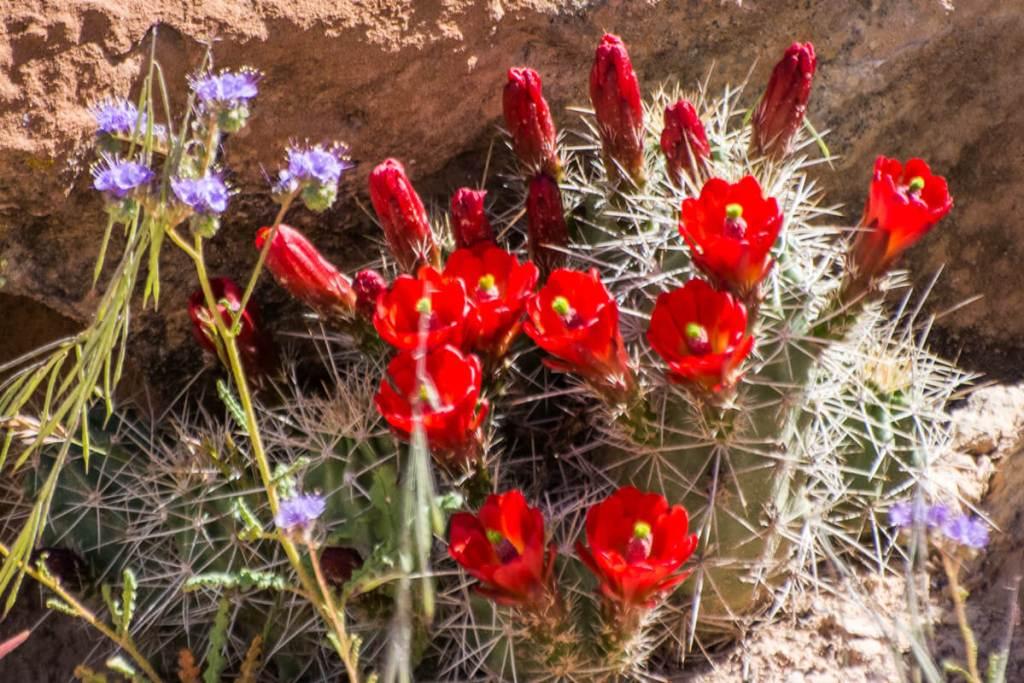 rouge intense d'un cactus en fleur,