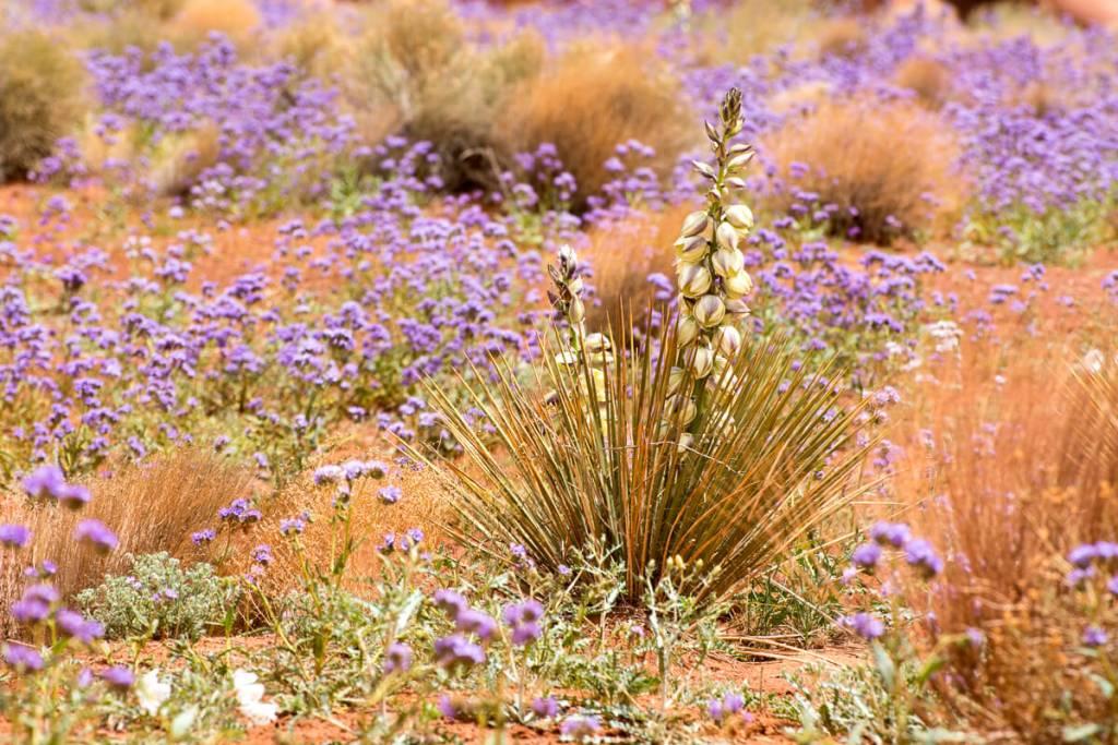 Agave et fleurs mauves à Monument Valley